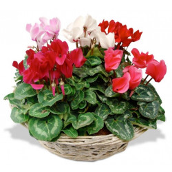 COMPOSITION DE CYCLAMENS